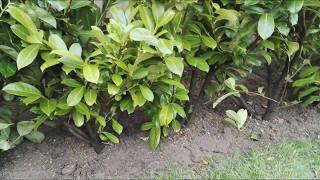 Planting a Laurel hedge