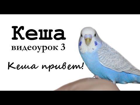 """Учим попугая по имени Кеша говорить. Видеоурок 3: """"Кеша, привет!"""""""