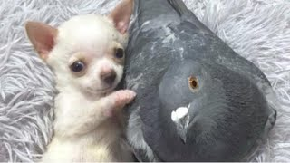 Unlikely Friends: Pigeon & Chihuahua Form Amazing Bond