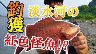 釣獲!淡水河の紅色怪魚!?  岸拋 路亞 海釣