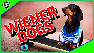 Dachshund Dogs  Fun Facts About Dachshunds