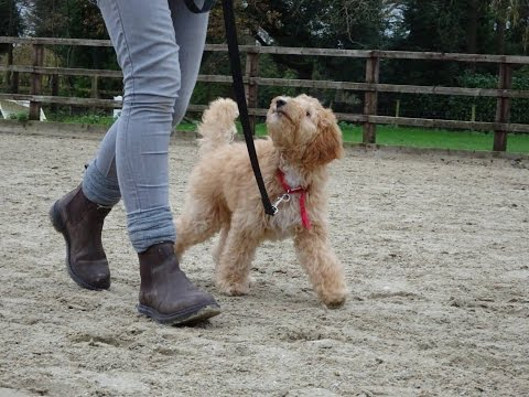 Harry  Labradoodle Puppy  3 Week Residential Dog Training at Adolescent Dogs