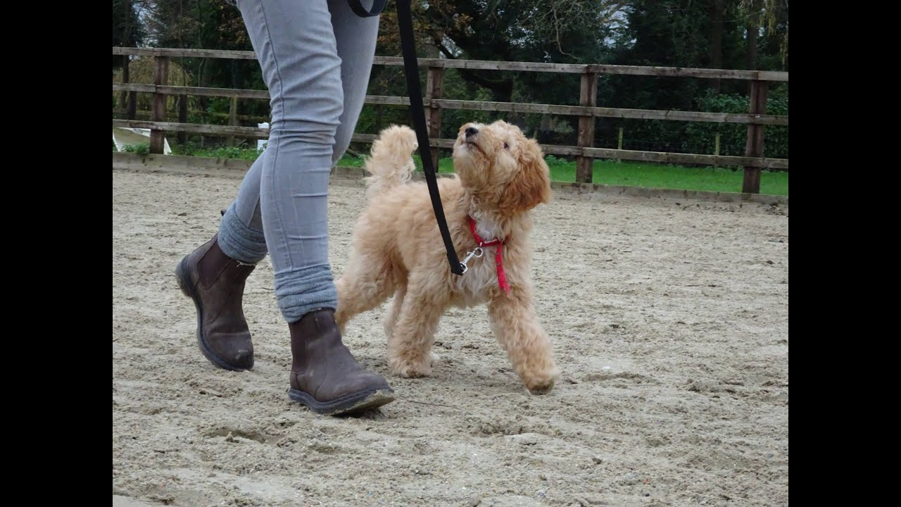 Harry Labradoodle Puppy 3 Week Residential Dog Training At