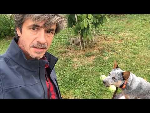 Train Australian Cattle dog Proper Retrieving skills