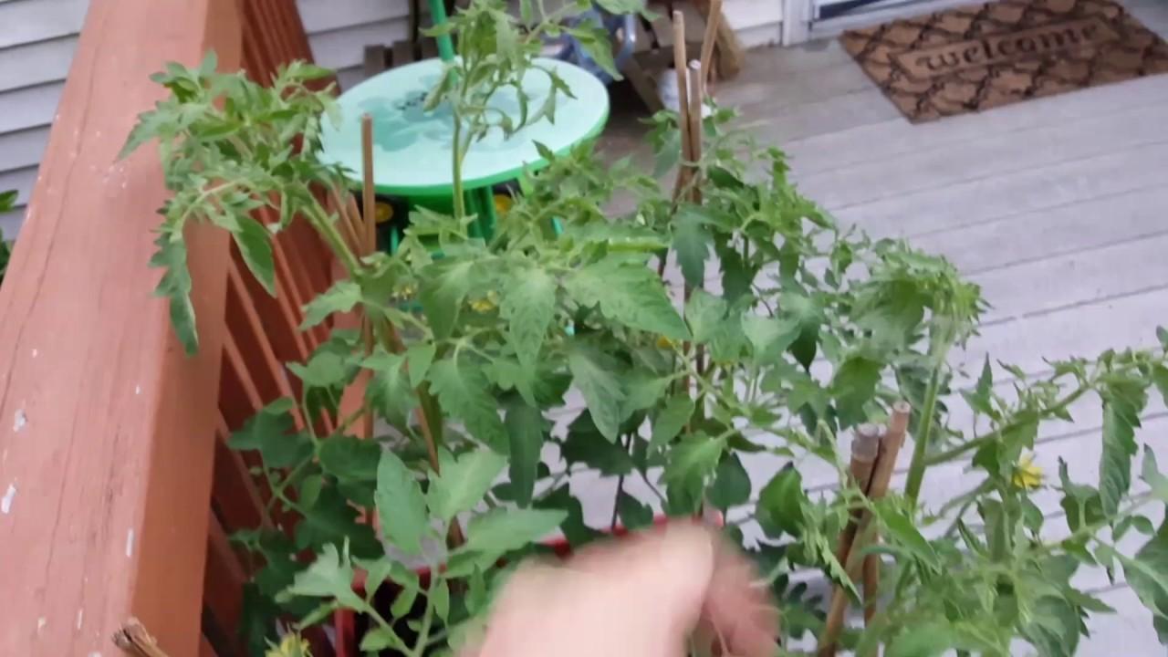 Container Cucumber Trellis Part - 45: Container Tomatoes, Cucumber Trellis, And More!