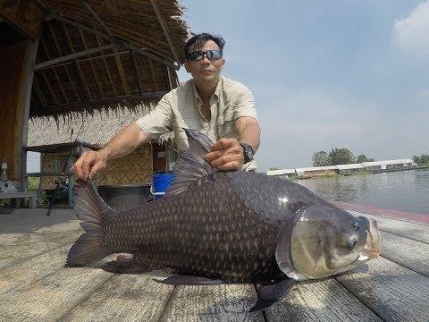 Giant Siamese Carp And Mekong Catfish Fishing Thailand- BKKGUY