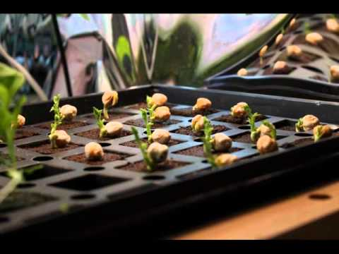 Chickpea Time Lapse