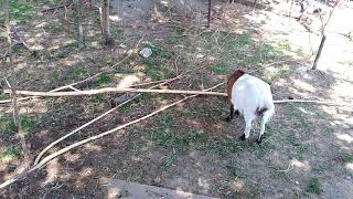 Koza zakrslá - Holandská