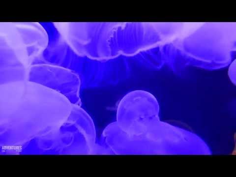 JELLYFISH IN 4K ULTRA HD
