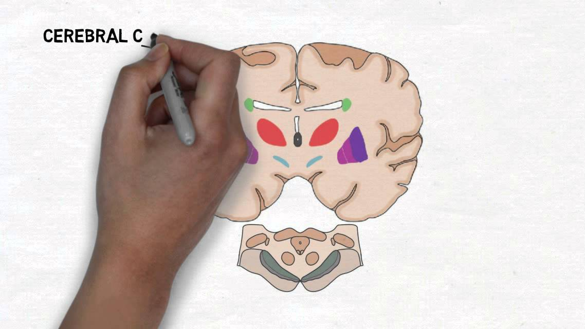 2-Minute Neuroscience: Basal Ganglia - YouTube