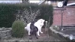 Cao castro laboreiro und Pyrenäenberghund