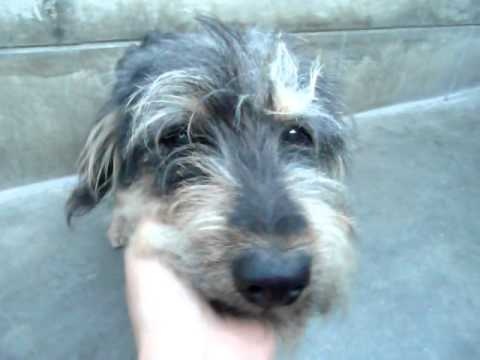 Disney Dog Scruffy Terrier Mix A279039 At Pasadena