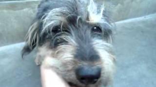 Disney Dog Scruffy Terrier Mix (a279039) At Pasadena Humane