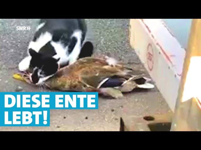 Katze gegen Ente: Wer ist am Ende der Klügste?