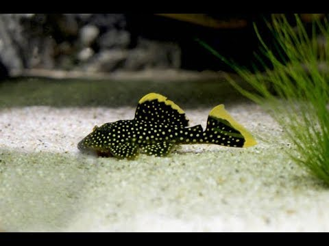 der sch nste fisch f rs aquarium golden nugget wels. Black Bedroom Furniture Sets. Home Design Ideas