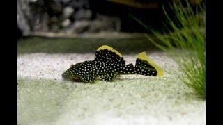 Der schönste Fisch fürs Aquarium! | Golden Nugget Wels (L85)  🐟😍
