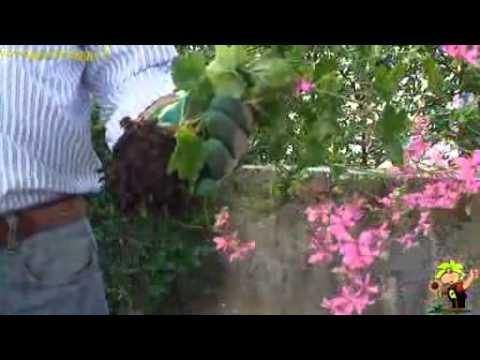 (I) PW petunia pendula Veranda  Doovi