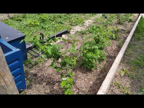 Вопрос: Как размножать малиновое дерево, если у него нет отводок?