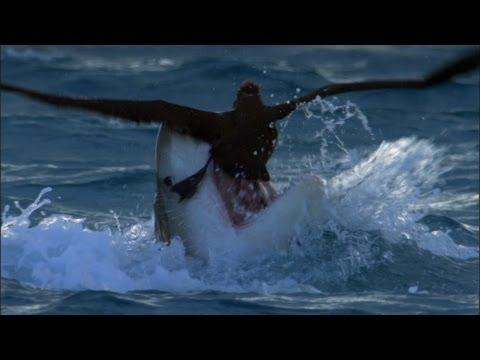 Tiger Shark attack - Benedict Cumberbatch narrates South Pacific - BBC