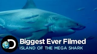 the biggest great white ever filmed   island of the mega shark