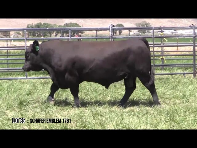 Mid Valley Bull Sale Lot 35