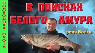 Подводная охота на Волге В поисках БЕЛОГО АМУРА Spearfishing for the white сupid