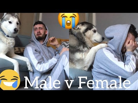 Funny Male v Female Husky Reaction to me Crying!! (PRANK) (BEST REACTIONS EVER)