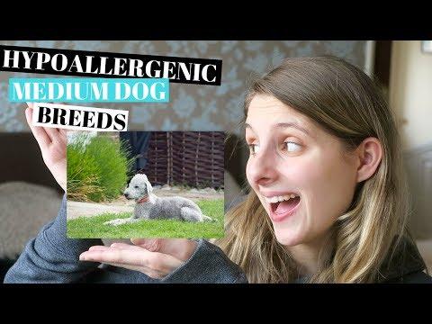 HYPOALLERGENIC DOG BREEDS - MEDIUM BREED