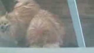 Pomeranian Dog Lovins