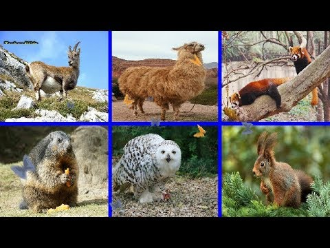 Learning Mountain Animals Names for Kids Different Kinds of Mountain Animals