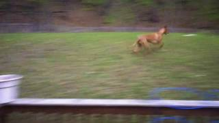 "My Pharaoh Hound Freya loves playing ""dot!"" Watch her Run like the ..."