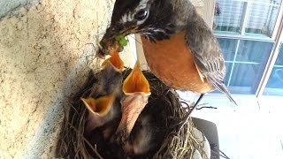 Baby birds getting fed by mommy robin