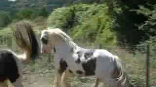 Repeat youtube video Irish Cob Saille Naturelle Cillbarra Tom
