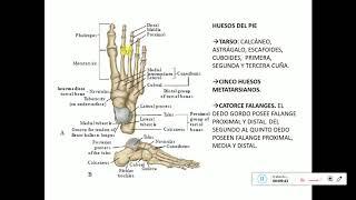 Tobillo pie y de seram anatomia
