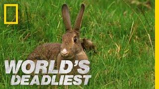 Stoat Hypnotizes Rabbit