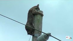 Bobcat stuck on top of a pole in Florida