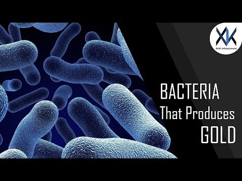 What is the science behind gold producing bacteria?