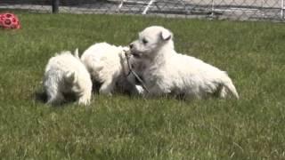 Bolkshof West Highland White Terrier