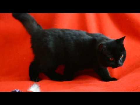 Выпускник Питомника - Чистокровный супер черный шотландский котенок-котик.