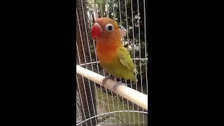Video LOVEBIRD PAUD 3 BULAN BELAJAR NGEKEK download MP3, 3GP, MP4, WEBM, AVI, FLV November 2018