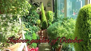 10월의 베란다 풍경~~연둣빛 율마/Indoor gar…
