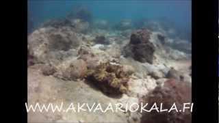 korallia ja kalaa koh rong islandilta.mp4