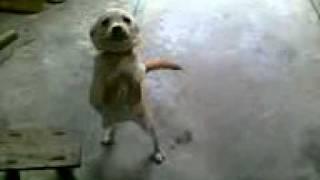 我家的中华田园犬真的很容易兴奋.