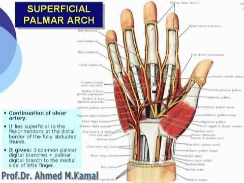 88 U Limb Superficial palmar arch د أحمد كمال cxt - YouTube