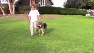 Sirius K9 Academy Basic Obedience Test Demonstration - Heeling