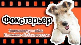 Фокстерьер (Большие терьеры). Энциклопедия собак.