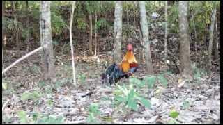 """8-1-2013 หนุ่มเมืองคร Thailand Jungle Folw """"Noom Muang Kon"""""""