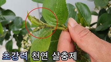 진딧물 100%없애려면 반드시 해야 하는 3가지( Three things you must do to get rid of 100 percent aphids )