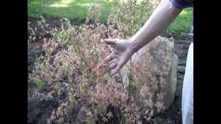 This Week In Our Hosta Garden: Understory Trees