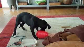 Boxer-lab Mix Puppy Plays With Kong Wobbler! [9 Weeks]